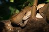 Trinidad Tree Boa (miTsu-llaneous) Tags: animal wildlife snake tamron 150600mm nikon d500 caroni swamp trinidad boa corallusruschenbergerii trinidadtreeboa centralamericantreeboa mangrove shade