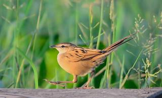 A marching Striated Grassbird