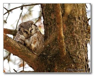 1E1A9387-DL   Nyctale de Tengmalm / Boreal Owl.
