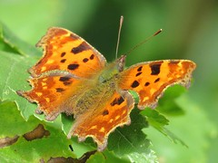 Comma Butterfly (Polygonia c-album) (Brian Carruthers-Dublin-Eire) Tags: camóg gamma cfalter comma polygoniacalbum butterfly commabutterfly polygonia calbum animalia insecta lepidoptera nymphalidae pcalbum animal nature wildlife macro