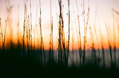 000230770022 (phatwhistle) Tags: ektar100 sunrise leelanau michigan nature landscape dunegrass nikonn80