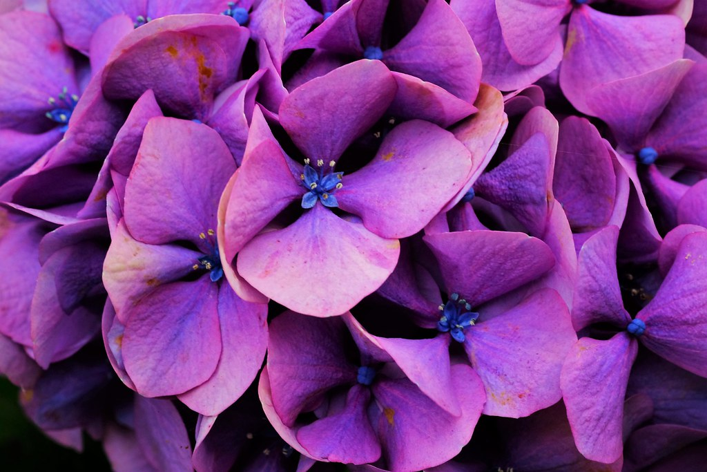The Worlds Best Photos Of Color And Hortensias Flickr Hive Mind - Color-hortensia
