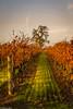 Sunset in the Vineyards (allentimothy1947) Tags: california lagunadesantarosa vineyard santarosa sunset autumn fall vines wine grass sunlight tree occidental road sonoma county