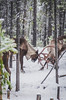 Rare Woodland Caribou Sparring (kwally92) Tags: wildlife canada britishcolumbia nature earth endangered threatened species woodland caribou north winter adventure animals explore explorebc wilderness