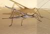 Zaprochilus sp Zaprochilinae Tettigoniidae Horseman Rd Warwick SQ P1100054 (Steve & Alison1) Tags: zaprochilus sp zaprochilinae tettigoniidae horseman rd warwick sq