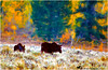 MOOSE IN ATUMN'S GLOW (Aspenbreeze) Tags: moose calfmoose cowmoose wildlife wildanimal wyomingwildlife coloradowildlife nature animal rural mountains country bevzuerlein aspenbreeze moonandbackphotography