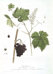 Botanical-Illustration-Grape-vine-and-grapes (xx in the sky) Tags: flower botanical french color educationalplate 19thcentury grape fruit