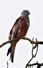 Red Kite - Taken at Sudborough, near Lowick, Northants UK. (Ian J Hicks) Tags:
