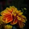 Dahlie  (20) (berndtolksdorf1) Tags: dahlien blumen flowers blossoms blüten pflanze plants zweifarbig rot red gelb yellow outdoor