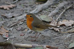 DSC00248 (simonbalk523) Tags: nymans national trust robin west sussex sony photography nature animals