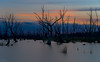 In Death there is Life DSC_1027 (BlueberryAsh) Tags: landcapes wintonwetlands glamping swamp dead trees silhoutte deadtrees sunset stormscloudssunsetsunrise water lake benella nightscape nikond750 nikon24120 longexposure
