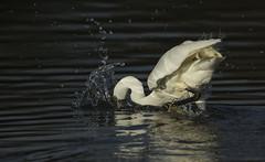 Little Egret - Splash down (Ann and Chris) Tags: rutlandwater littleegret feathers fishing wildlife wild water avian bird birdphotography splash lake