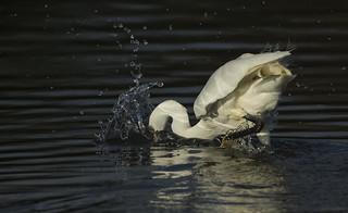 Little Egret - Splash down