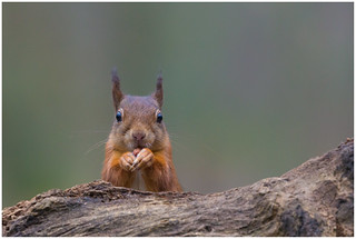 Red Squirrel - Eekhoorn (Sciurus vulgaris) .....