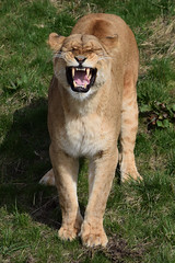Aïsha @ Wildlands Adventure Zoo Emmen 11-03-2017 (Maxime de Boer) Tags: aïsha african lion lioness afrikaanse leeuw leeuwin big cats katachtigen wildlands adventure zoo emmen animals dieren dierentuin gods creation schepping genesis