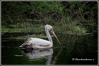7358 - spot billed pelican