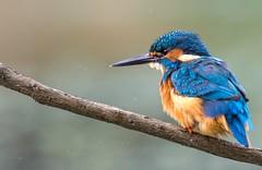 Kingfisher. (Jez Nunn) Tags: kingfisherbirdswildlifenikon7200naturesussexshake