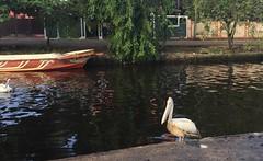 Pelicans in one of the Dutch Waterways in Sri Lanka (peggyhr) Tags: peggyhr pelicans boat srilanka trees waterway carolinasfarmfriends