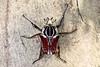 Goliathus goliatus (male) 大王花金龜 (雄) (YoyoFreelance) Tags: goliathus goliatus 大王花金龜