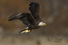 Bald Eagle - Explore 12-8-2017 (ThruKurtsLens.com (off and on)) Tags: 2017 baldeagle eagle fallcolors fish flying kurtwecker nature naturephotographer talons thrukurtslenscom wildlifephotographer wildlifephotography