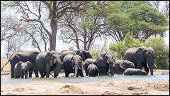 African Bush Elephant Herd (John R Chandler) Tags: africanbushelephant africanelephant animal elephant herd hwangenationalpark loxodontaafricana mammal matabelelandnorthprovince waterhole zimbabwe zw