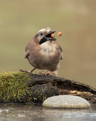 Juggling Act (Gary Stamp cPAGB) Tags: garden project canon nature jay