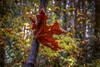 Hanging On (Paul Rioux) Tags: nature foliage autumn fall season seasonal maple leaf vegetation turn colour orange bokeh dof depthoffield trees forest gowllandtod park trail leaves outdoor yellow prioux sony a6000