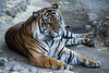 Sumatran Tiger - Los Angeles Zoo (GMLSKIS) Tags: losangeles zoo california nikond750 sumatrantiger