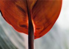 Canna lily (Yuta Ohashi LTX) Tags: pentax 67 6x7 film 中判 フィルム ネガ ブローニー epson スキャン scan 105mm f24 smc supertakumar ペンタックス old cameraold lensfuji leaf leaves 銅葉 カンナ botanical garden plant canna indianshot lily 接写 マクロ extension tube 接写リング