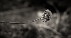 sunflower remains (auntneecey) Tags: monochrome sunflower sunflowerremains macro 365the2017edition 3652017 day310365 6nov17