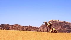 JORDANIA (Grace R.C.) Tags: arena desierto camels camellos animal jordania wadirum sand desert paisaje landscape