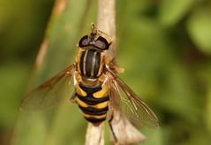 """Marsh Lover"" (cotinis) Tags: insect diptera hoverfly syrphidae eristalinae helophilus helophilusfasciatus northcarolina piedmont sigma150mmexdgf28macro fridayflyday explore"