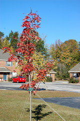 Young Maple Tree. (dccradio) Tags: lumberton nc northcarolina robesoncounty outdoors outside morning goodmorning fall autumn harvest nikon d40 dslr sky bluesky nature natural tree trees foliage autumnfoliage fallfoliage maple mapletree youngmaple redleaves redleaf redmapleleaf