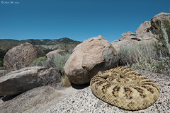 Great Basin Rattlesnake (Crotalus lutosus) (Chad M. Lane) Tags: nikon nikond810 tamron tamron1530mmf28vc wildlife wideangle wildlifephotography reptiles rattlesnake rock grantie beautiful love landscapes outdoor greatbasinrattlesnake crotaluslutosus crotalus creatures nevada nevadawildlife nature nofilter naturephotography naturallight travel exploring herpetology herping herps animals