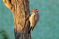 Ladder-backed Woodpecker (5961) (Bob Walker (NM)) Tags: bird woodpecker perching tree ladderbackedwoodpecker picoidesscalaris lbwo whiterock newmexico usa