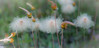 Gone To Seed (maureen.elliott) Tags: seeds plants weeds blowing nature outdoors gonetoseed growing closeup grasses