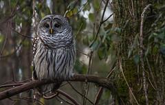 Chouette rayée/Barred Owl -19379 (michel paquin2011) Tags: rouge chouetterayée technoparc saint laurent chemin françois rapace nocturne