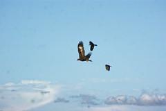 Wedgey under attack. (darrylkirby) Tags: australianbirds desertcampingtripsoutbacknewsouthwalestrip environment fauna feathers inlandaustralia raptors wedgetailedeagles