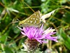 Silver-spotted Skipper, Hampshire, England (east med wanderer) Tags: silverspottedskipper downland chalk hesperiacomma hampshire england uk knapweed southdownsnationalpark nationalpark hesperiidae