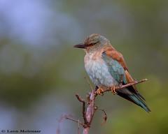 Juvenile European Roller (leendert3) Tags: leonmolenaar wildlife nature krugernationalpark southafrica europeanroller birds ngc npc