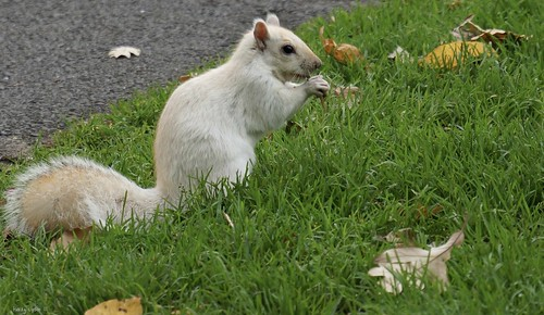 "Cute White Squirrel • <a style=""font-size:0.8em;"" href=""http://www.flickr.com/photos/52364684@N03/37413190394/"" target=""_blank"">View on Flickr</a>"