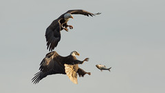 There Goes a Fine Meal (Ken Krach Photography) Tags: eagle