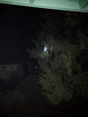 Oh Geez!! Now it's my turn to have the heart attack! Mr. Barred Owl was sitting on my porch railing a few feet from where I put our little 5 lb Japanese chin girl out to potty!! My husband shood him away and he flew to this tree. He's persistent! (Painters Life) Tags: owl barredowl