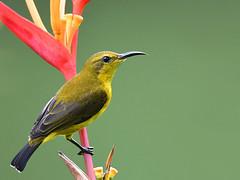 Olive-backed Sunbird (jvverde) Tags: olivebackedsunbird beijaflordedorsoverde cinnyrisjugularis bird animal ave