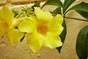 Yellow Alamanda (ronmcmanus1) Tags: jollyharbour stmarysparish antiguabarbuda antigua caribbean flowersplants