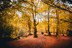 Bosques de Ucieda (Luis Marina) Tags: forest bosque cantabria ucieda otoño dorado rojo nature naturaleza monte excursion trip path yellow red tree arbol autumn