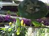 Chichicastenango Guacamayos Hotel Santo Tomás  Guatemala 02 (Rafael Gomez - http://micamara.es) Tags: chichicastenango guacamayos hotel santo tomás guatemala