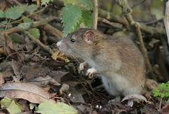 Brown Rat (farrertracy) Tags: brownrat