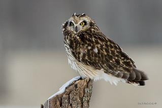 Short-eared owl on a stump