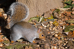 Eastern Gray Squirrel (Brian E Kushner) Tags: chipmunk squirrel newjersey audubon nikon d850 nikond850 backyardanimals bkushner backyard wildlife audubonnj animals ©brianekushner afs nikkor 200500mm f56e ed vr nikonafsnikkor200500mmf56eedvr